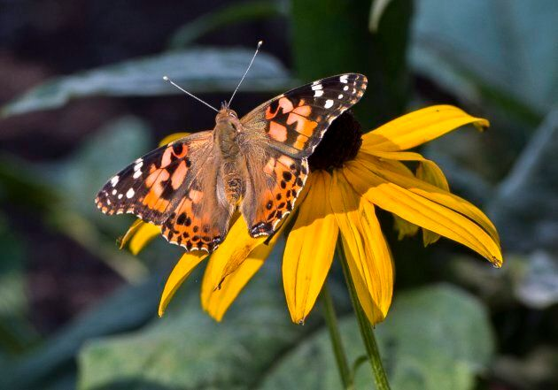 A painted lady butterfly is seen on a flower in Montreal on Sept. 19,