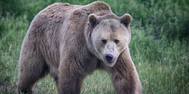 A grizzly bear with a beautiful thick coat walks in profile with head toward the viewer. The maximum...