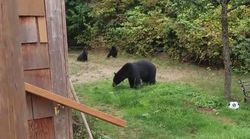 Polite Bears Leave B.C. Backyard After Being Asked