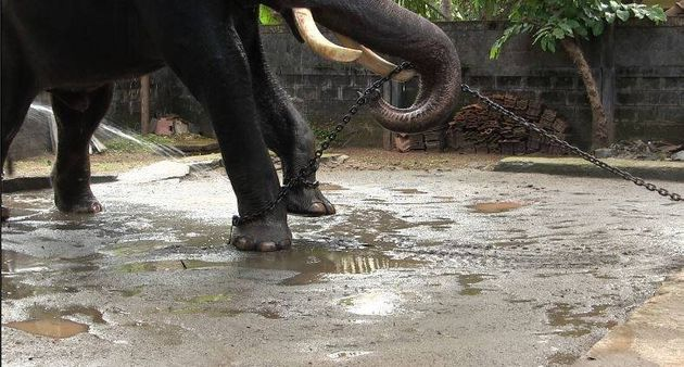 This 23-year-old bull elephant was denied his most primal instinct to