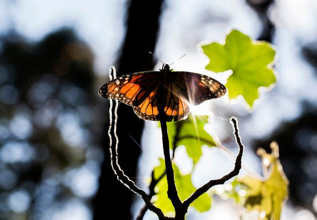 A monarch butterfly is pictured at the oyamel fir forest in Ocampo, Michoacan State in Mexico, where...