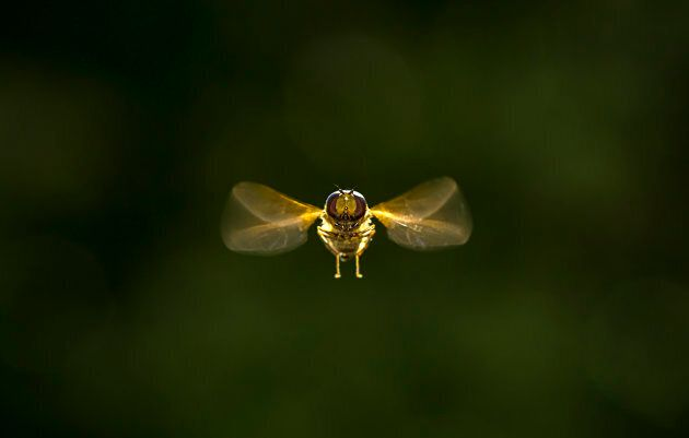 Hoverflies, sometimes called flower flies or syrphid flies, make up the insect family Syrphidae. As their...