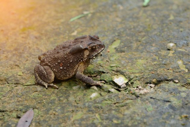 No, you can't get warts from toads.