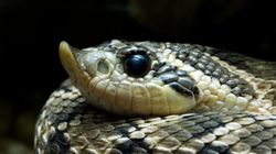 Smuggler Faces 5 Years After Getting Busted With Snakes In His