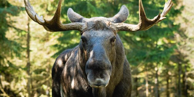 Rodney Buffett said the moose plowed into