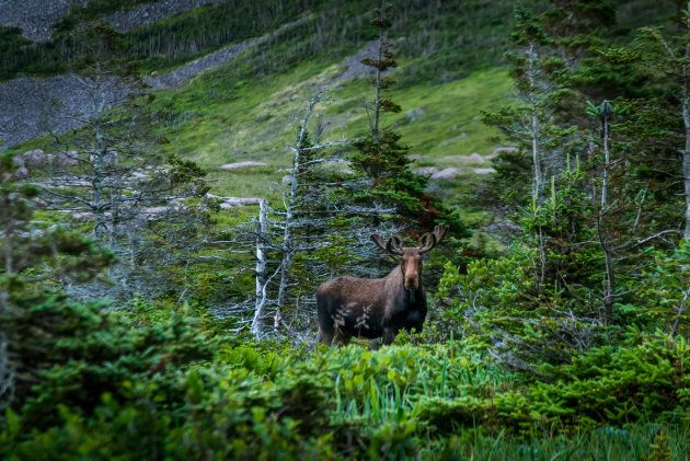 A moose at Deadman's Cove in Newfoundland is shown. Rodney Buffett said no one will let him go back to