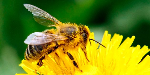 A bee collects pollen from a dandelion blossom on a lawn in Klosterneuburg, Austria, April 29,