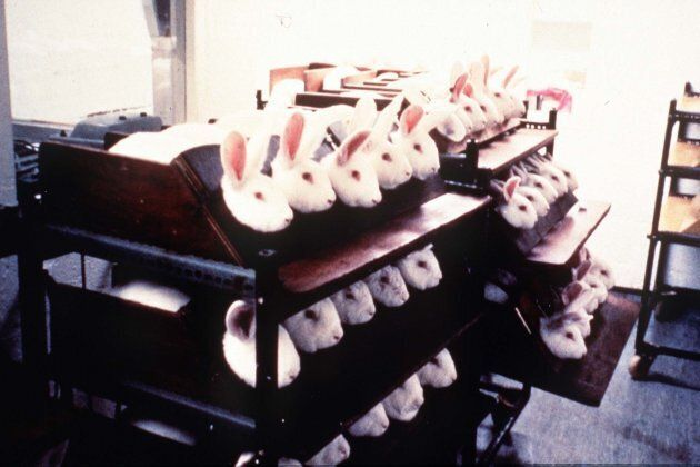 Undated file photo of rabbits being held in stocks during eye irritancy tests for cosmetics.