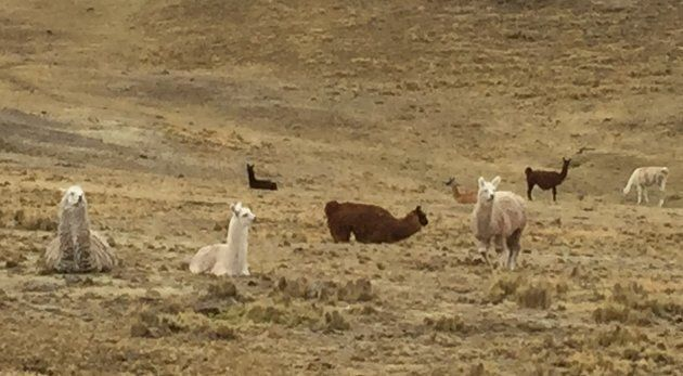 Llamas roaming free in the high