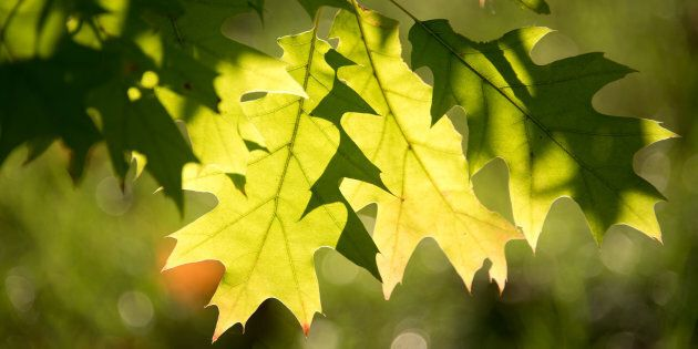 Light shines behind two green leaves on a tree in