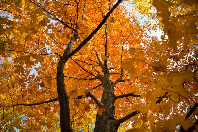 Maple trees with orange leaves are seen in Toronto in