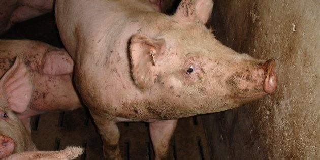 Manitoba's Pigs And People Will Pay If The Province Relaxes