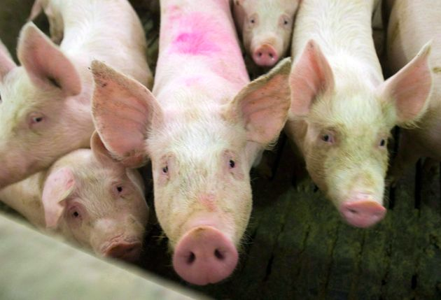 Pigs are seen in this file photo from April