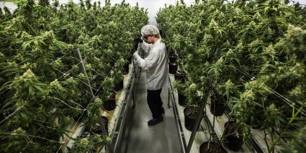 An employee looks at flowering medical marijuana plants at Canopy Growth's operation in Smiths Falls,...