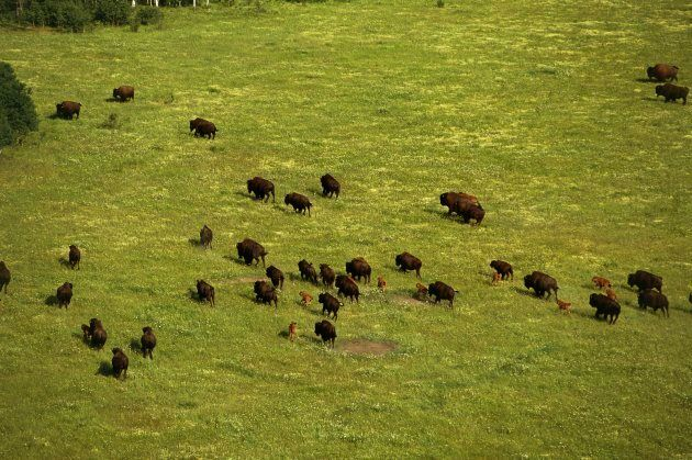 A bison herd grazes in Wood Buffalo National