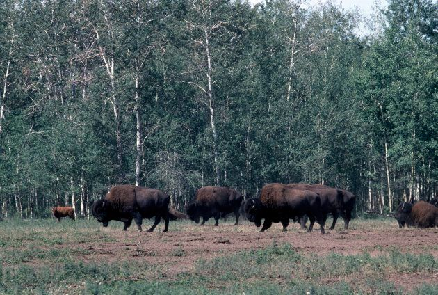 American bison Wood Buffalo National Park in the Northwest