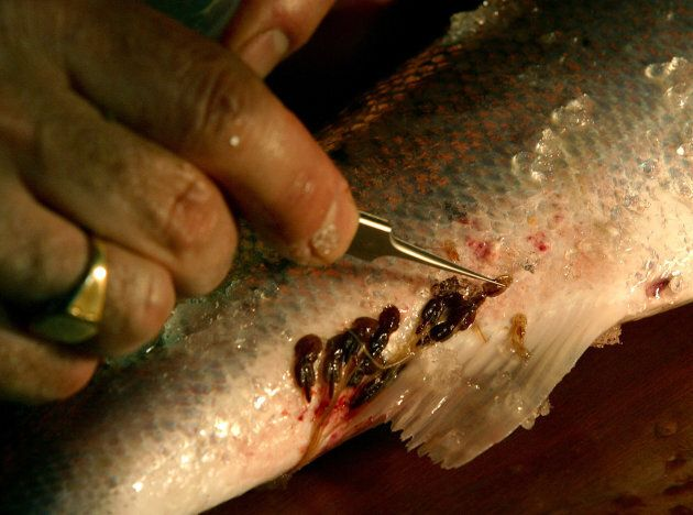 A scientist removing a specimen of sea lice from a wild salmon captured at Strathy salmon netting station in  Sutherland, Scotland.