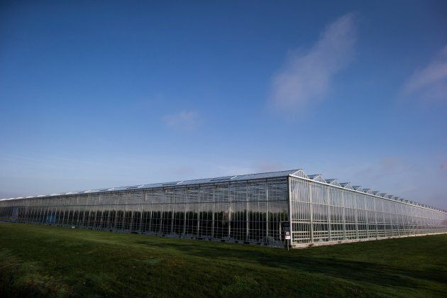 Peppers grow in a greenhouse at Windset Farms in Delta, B.C., on Dec. 10,