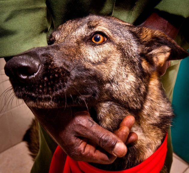 Lea, a Belgian shepherd, donates blood at a special donation clinic on March 15, 2010 in Pretoria, South