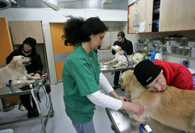 The owner of a golden retriever rests his head on his dog as a veterinarian prepares the canine to donate...
