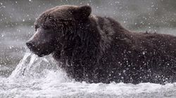 B.C. Ends Its Grizzly Bear Hunt For