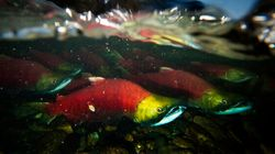 LOOK: Spectacular B.C. Salmon Run Has
