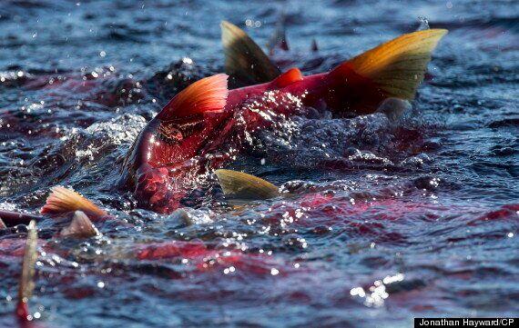 Sockeye Salmon Run Begins In B.C.'s Adams River