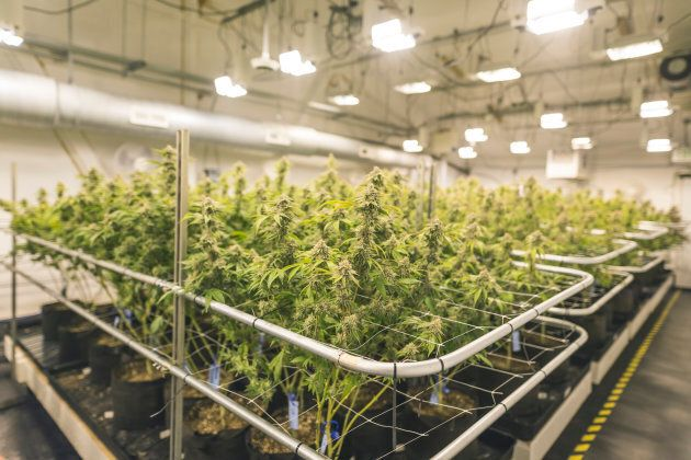A wide shot of potted cannabis plants under artificial lights in an indoor, commercial grow facility...