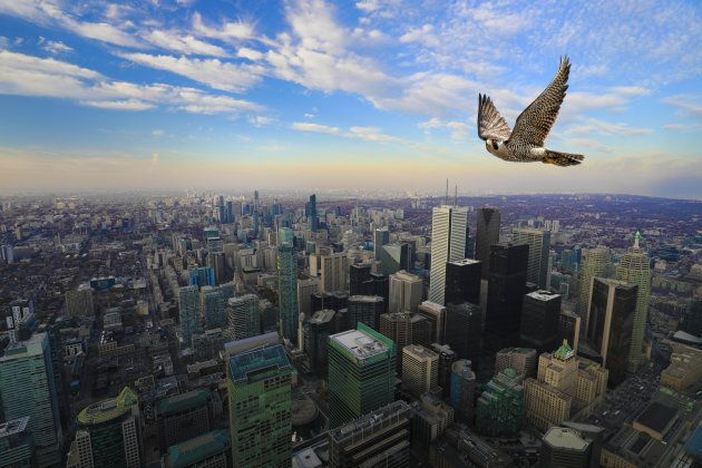 A Peregrine Falcon in flight high over Toronto city