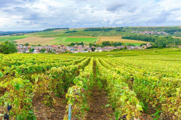 Champagne Vineyards at sunset, Montagne de Reims,