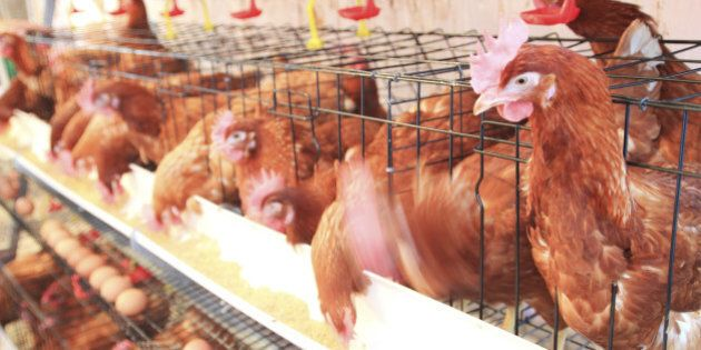Chicken Products Falsely Labelled As 'Organic,' Lawsuit