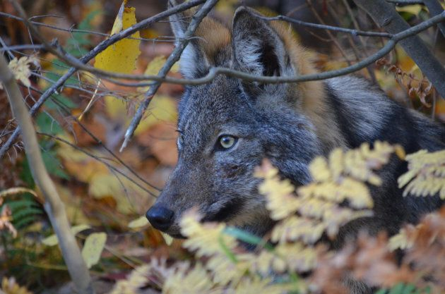 An eastern wolf in Algonquin Park,
