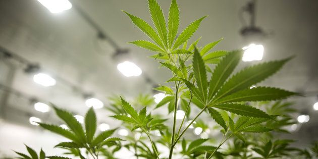 Marijuana plants grow in a medical marijuana facility in Smith Falls,