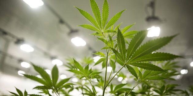 Marijuana plants grow in a medical marijuana facility in Smith Falls, Ont.