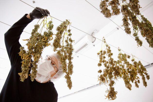 Drying marijuana plants.