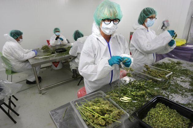 Dried plants are trimmed by hand at a medical marijuana production facility in Scarborough,
