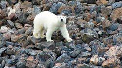 Polar Bears Wreck Halloween For Nunavut