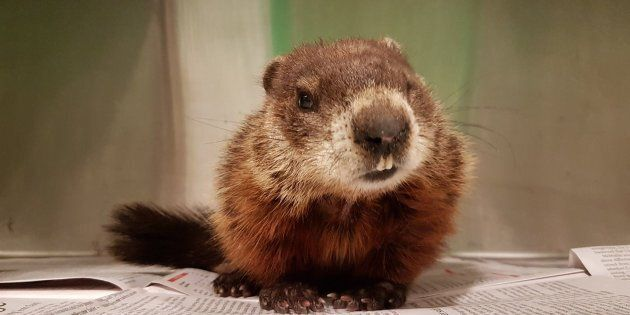 Adorable Groundhog Rescued From Nova Scotia