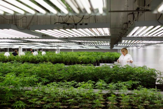 Customer Care Assistant and Production Assistant Marsha McKenna grooms marijuana plant clones at Tweed...