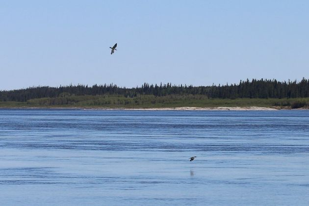 Belted kingfishers navigating the shores of La Grande Rivière, near the community of Chisasibi. Photo...
