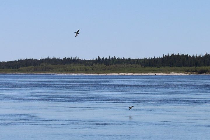 Belted kingfishers navigating the shores of La Grande Rivière, near the community of Chisasibi. Photo via Nature Conservancy of Canada.