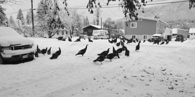 Wild Turkeys Are Driving People Nuts In Edgewater,