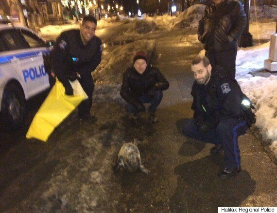 Seal Wanders Downtown Halifax Before Police Usher It