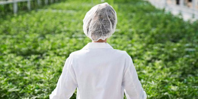 An Aphria worker look out over a crop of marijuana in an undated handout