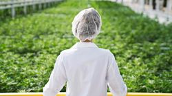 Ontario Minimum Wage Hike Driving Up Cost Of Cannabis, Pot Producers