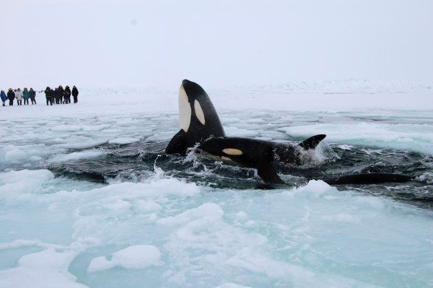 Two killer whales surface through a breathing hole in the ice of Hudson Bay near the community of Inukjuak,...
