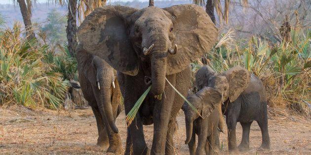 An African Elephant family (Loxodonta africana) in Gonarezhou, Southern Zimbabwe.