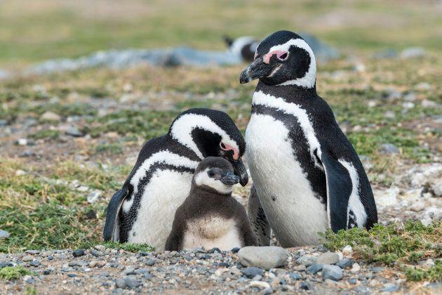 Magellanic penguins in Patagonia, Chile.