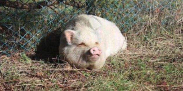 Nanaimo, B.C. resident Brandy Mckee shared this photo she says is of Molly, a potbellied pig that was...