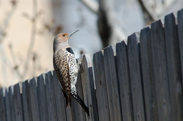 Red-shafted northern flicker peeking over a